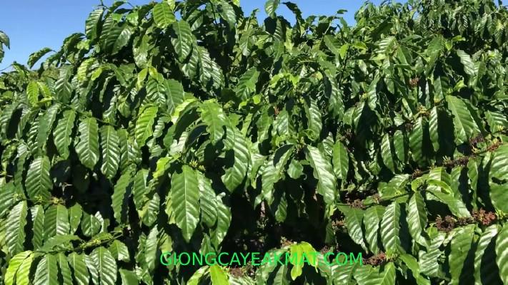 cây giống cà phê xanh lùn