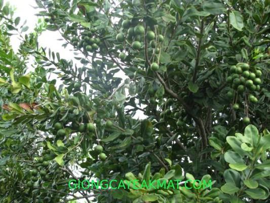 cây giống mắc ca