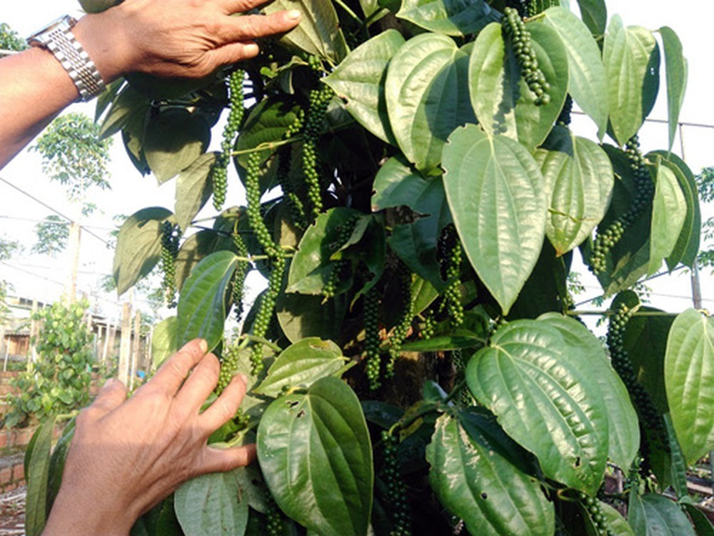 giống tiêu Srilanka