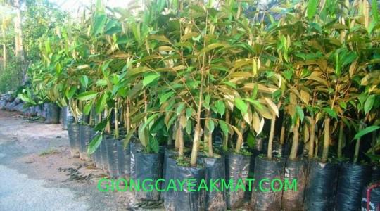 cây giống sầu riêng Dona