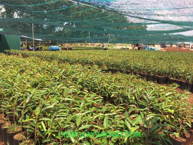 bán cây giống sầu riêng Dona Thái