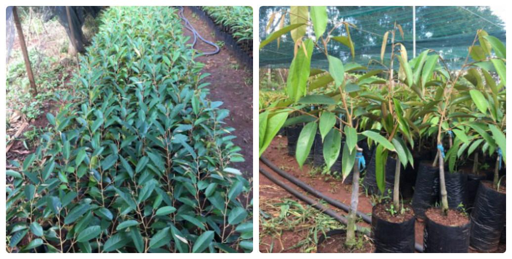 bán cây giống sầu riêng Dona