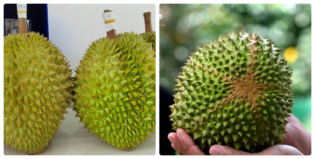 bán giống sầu riêng Musang King Malaysia
