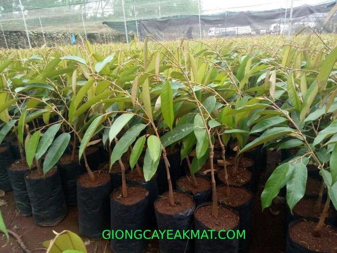 bán cây giống sầu riêng Ri6