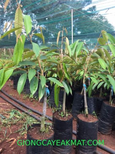 cây giống sầu riêng Ri6