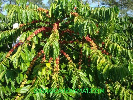 bán hạt giống cà phê Tr9