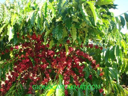 địa chỉ bán hạt giống cà phê Tr9