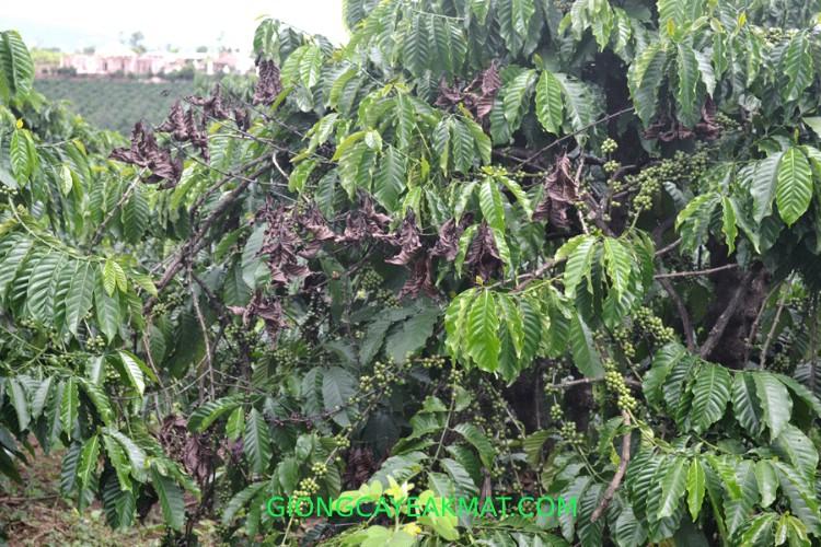 bệnh nấm hồng cây cà phê