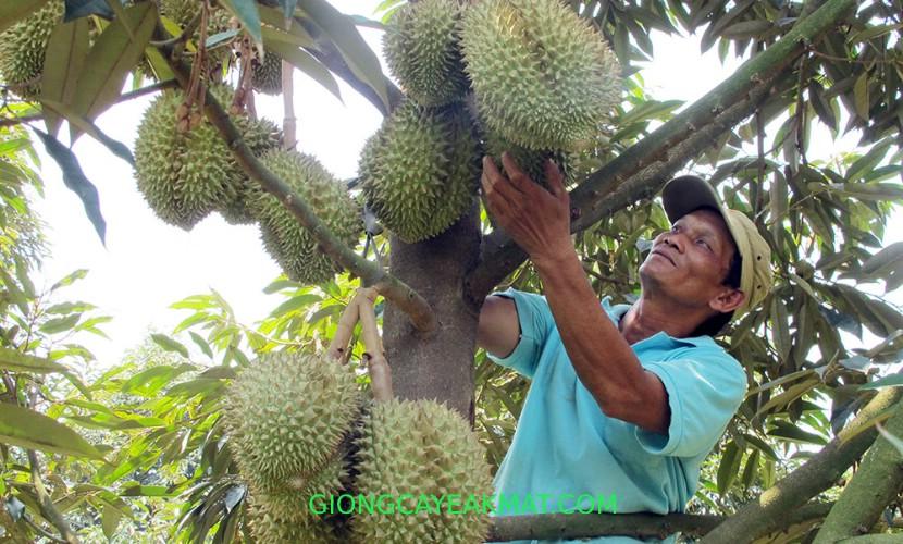 cách bón phân cho cây sầu riêng
