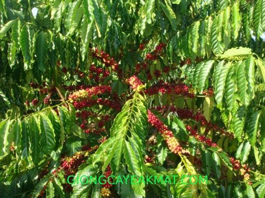 cây giống cà phê Tr4