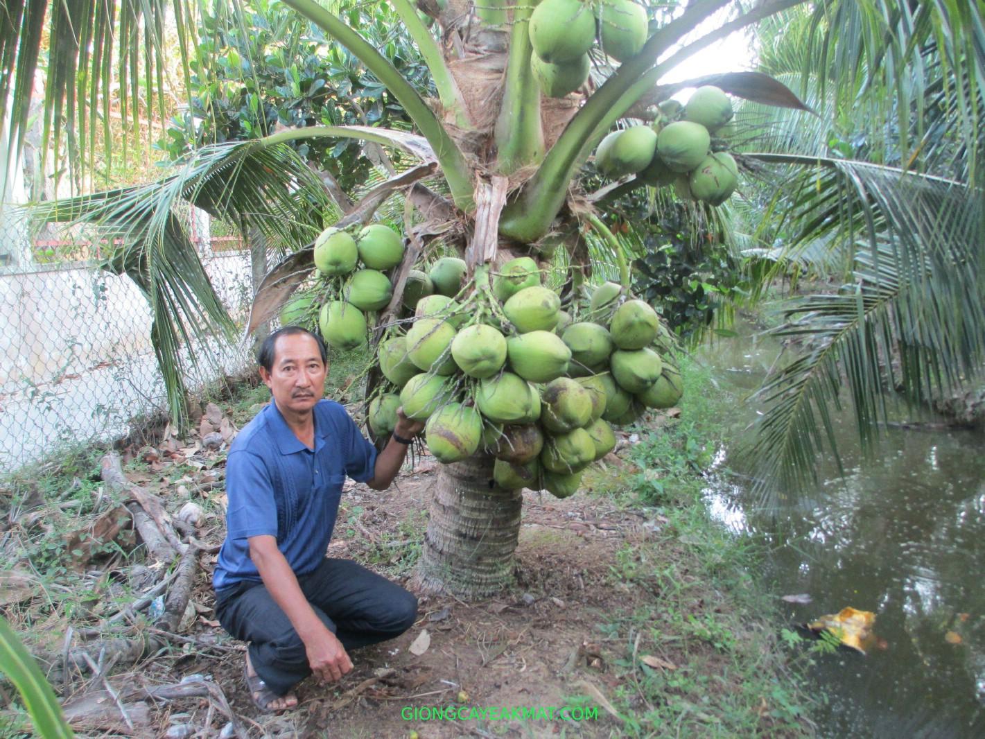 trồng dừa dứa