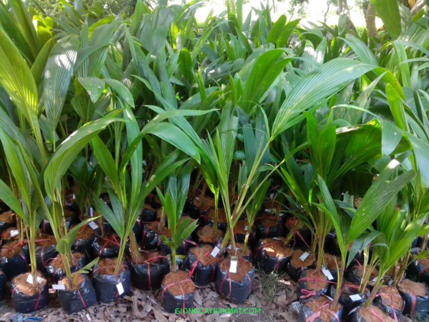 Cách trồng dừa dứa