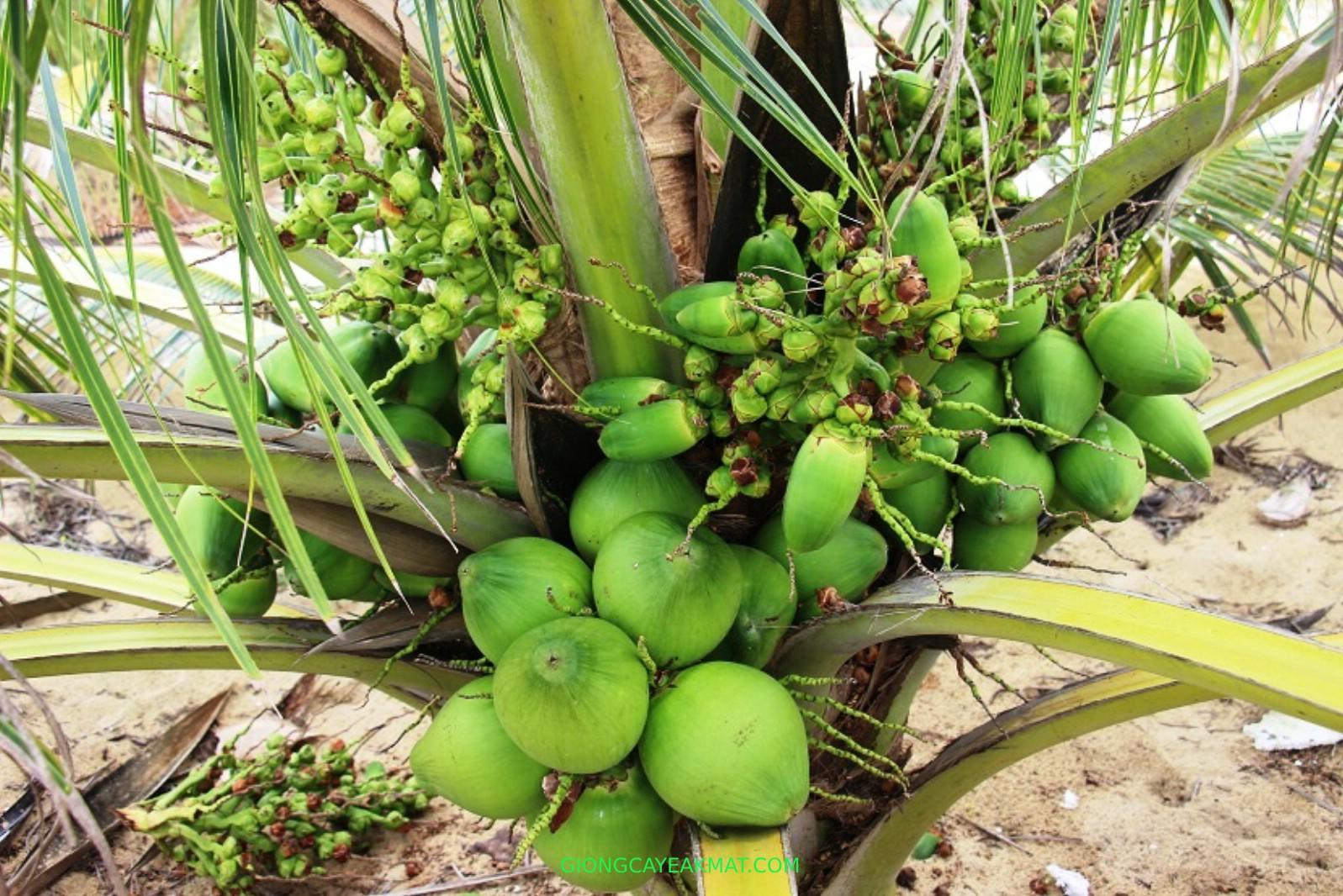 cây giống dừa dứa năng suất cao