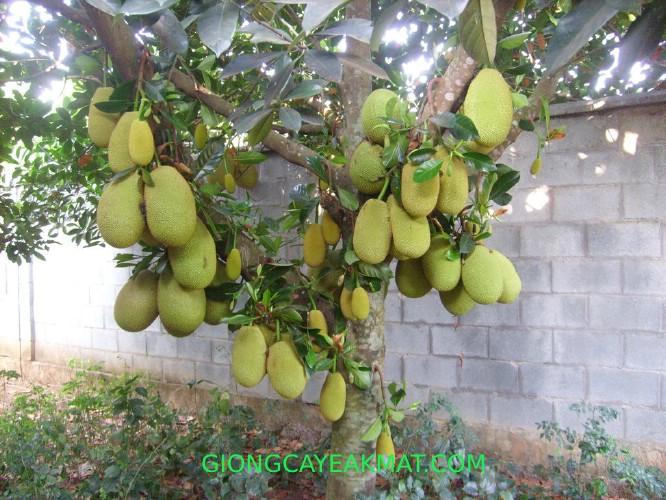 cây mít Thái Changai