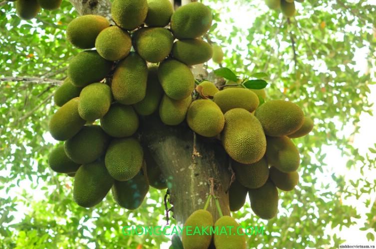 cây giống mít Thái Changai