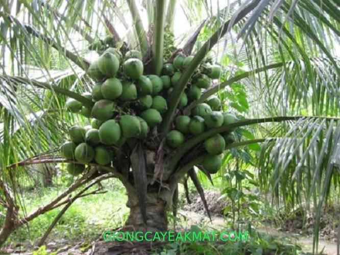 chăm sóc dừa xiêm lùn