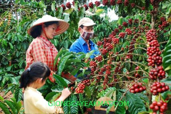 Quy trình chăm sóc cà phê đạt chất lượng tốt nhất   Trung
