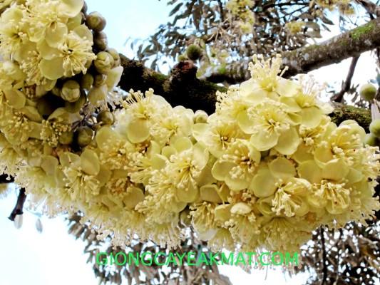cách chăm sóc sầu riêng khi ra hoa