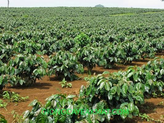 kỹ thuật trồng cà phê ở Tây Nguyên