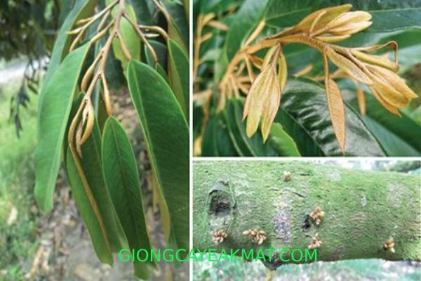phòng trừ rầy phấn cho sầu riêng