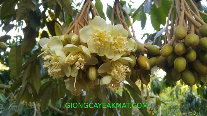 xử lý sầu riêng ra hoa