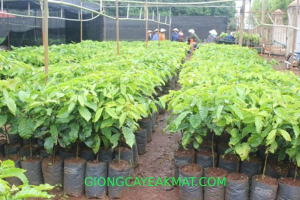 kỹ thuật chăm sóc cho cà phê mới trồng