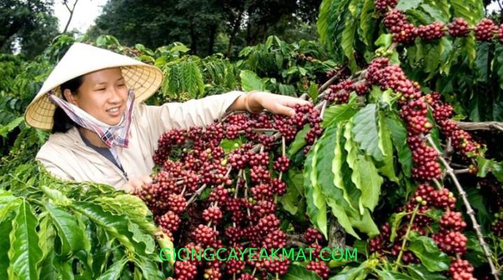 chăm sóc cây cà phê