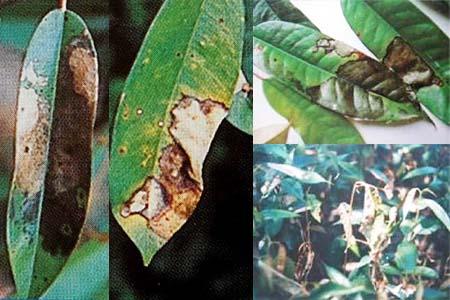 Biện pháp phòng trừ bệnh cháy lá và chết ngọn trên cây sầu riêng