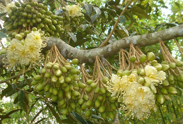 Kỹ thuật xử lý sầu riêng ra hoa trái mùa mà nhà vườn cần biết