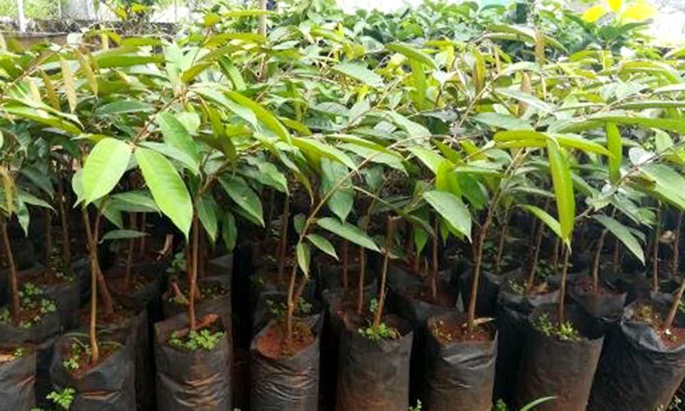 Giới thiệu giống sầu riêng Musang King có tiềm năng kinh tế cao
