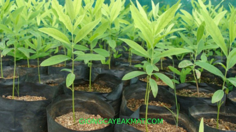 bán cây giống Đàn Hương