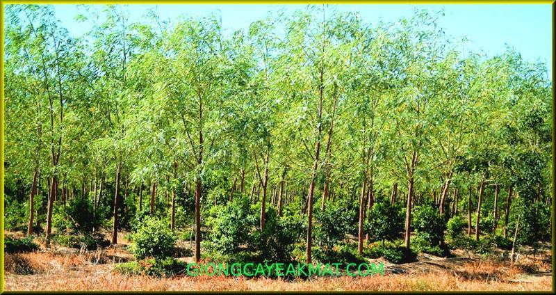 cây Đàn Hương