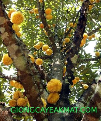 cây sầu riêng ruột đỏ