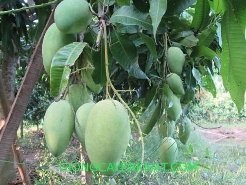 cây xoài Đài Loan