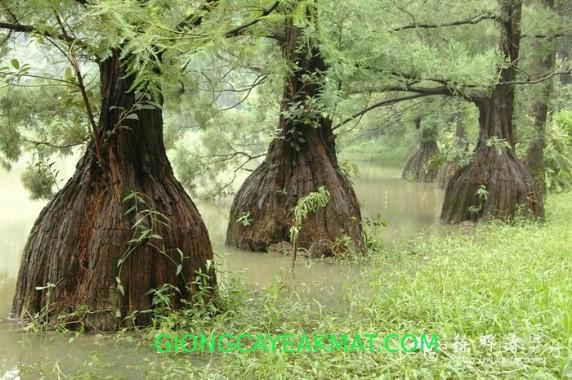 cây Thủy Tùng