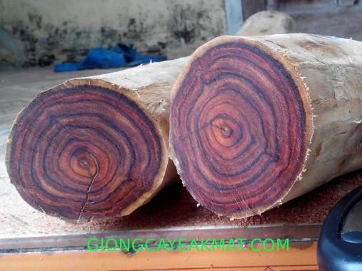 cây gỗ xưa đỏ