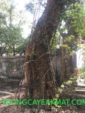 cây xưa đỏ