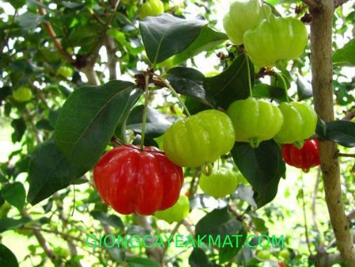 Giống Cherry Nam Mỹ Brazil