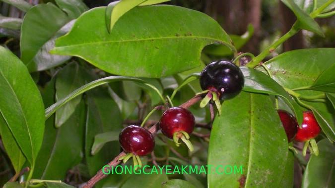 Cherry Nam Mỹ Brazil