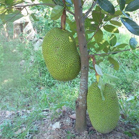 chăm sóc cây mít Thái
