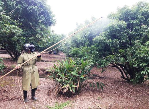 phòng bệnh cho cây vải thiều