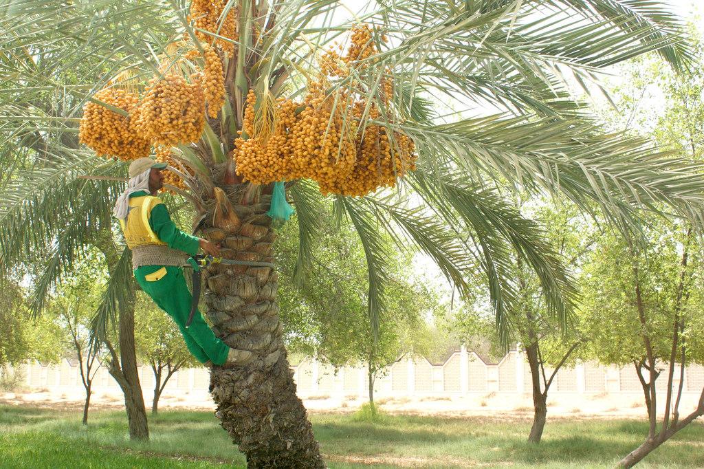 hướng dẫn cách phòng trừ sâu bệnh cây chà là hiệu quả