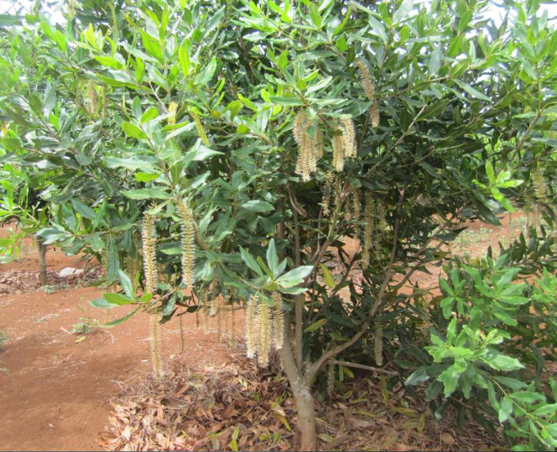 Cách phòng trừ sâu bệnh cây mắc ca