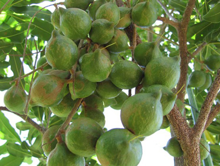 Cách phòng trừ sâu bệnh cây mắc ca hiệu quả