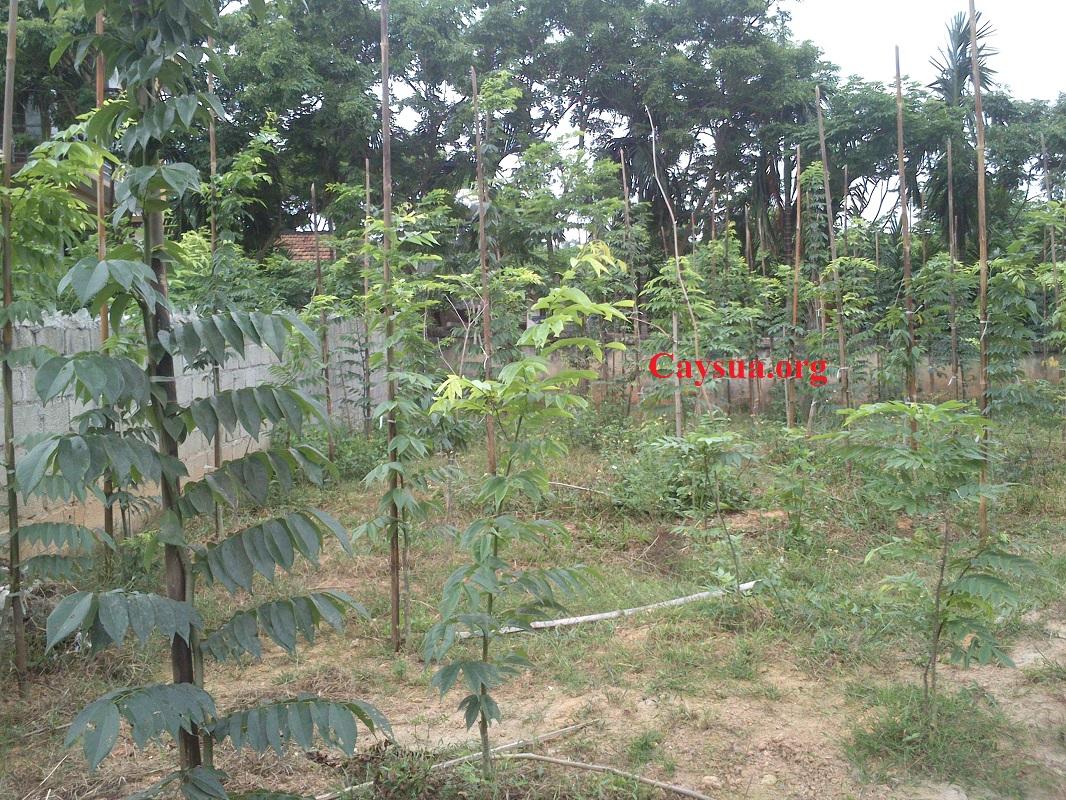 Hướng dẫn kỹ thuật trồng và chăm sóc cây sưa đỏ