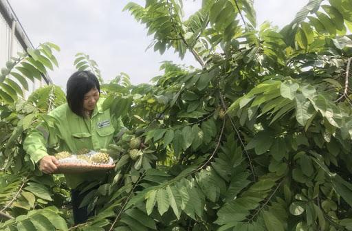 cây giống Na Đài Loan