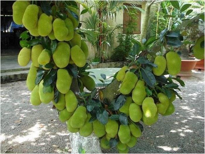 cây mít không hạt