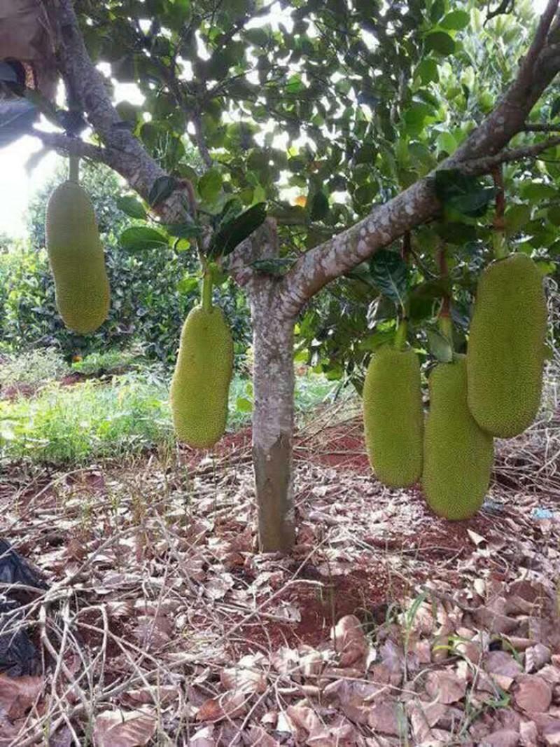 cây mít Malaysia