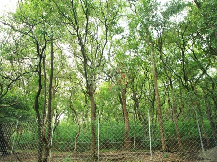 cây gỗ đàn hương