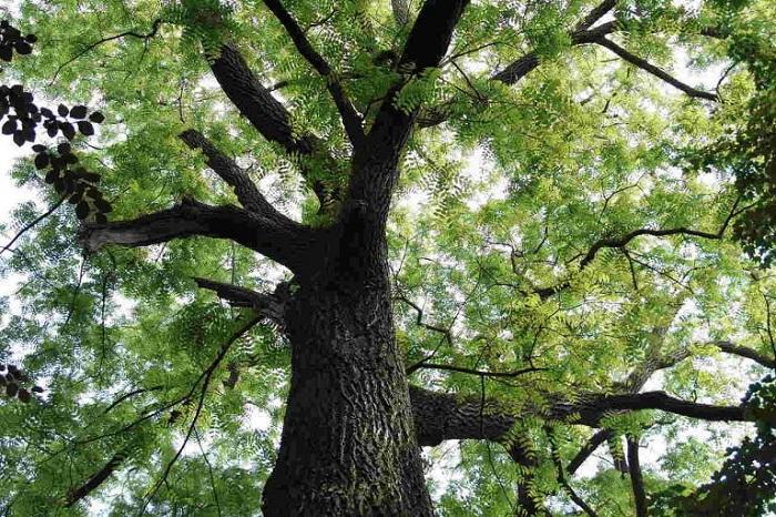 cây giống gỗ đàn hương